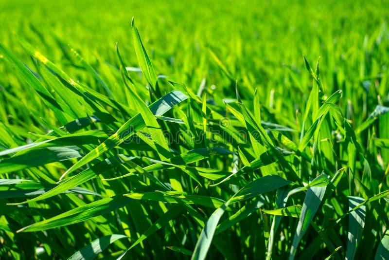 Ungt vetefält i våren, plantor som växer i en jord Gräsplan arkivfoto