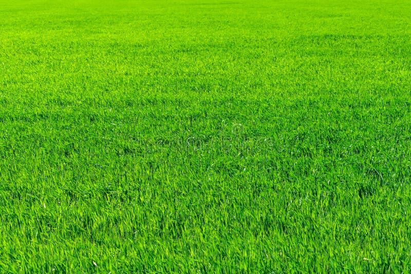 Ungt vetefält i våren, plantor som växer i en jord Gräsplan royaltyfri bild
