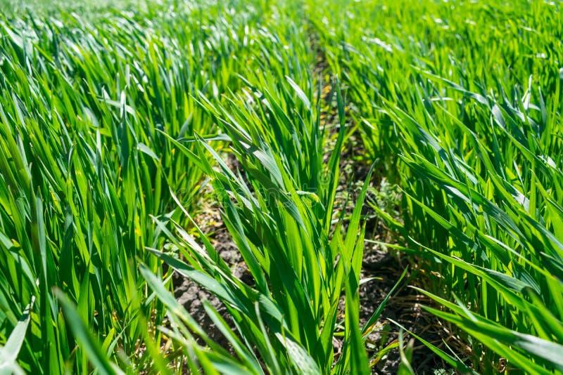 Ungt vetefält i våren, plantor som växer i en jord Gräsplan arkivbilder