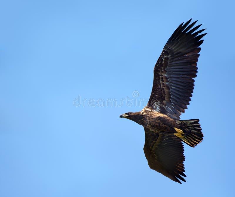 Ungt Vit-tailed snabbt flyg för örn i blå himmel arkivbild