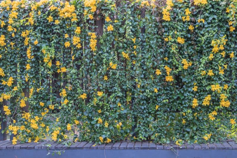 Unguis-cati L de Macfadyena de fleur de vigne de la griffe du chat a H gentry images stock
