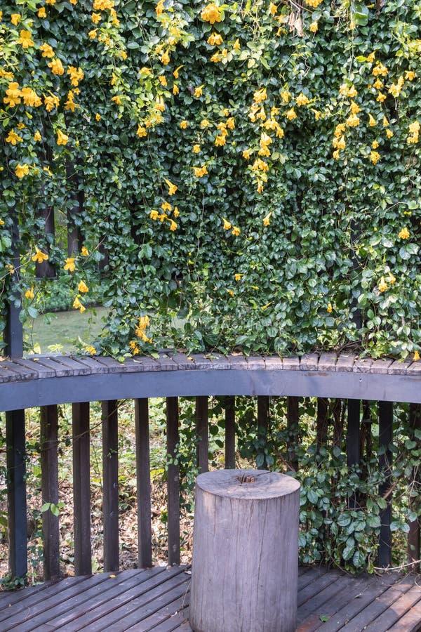 Unguis-cati L di Macfadyena del fiore della vite dell'artiglio del gatto a H gentry fotografia stock libera da diritti