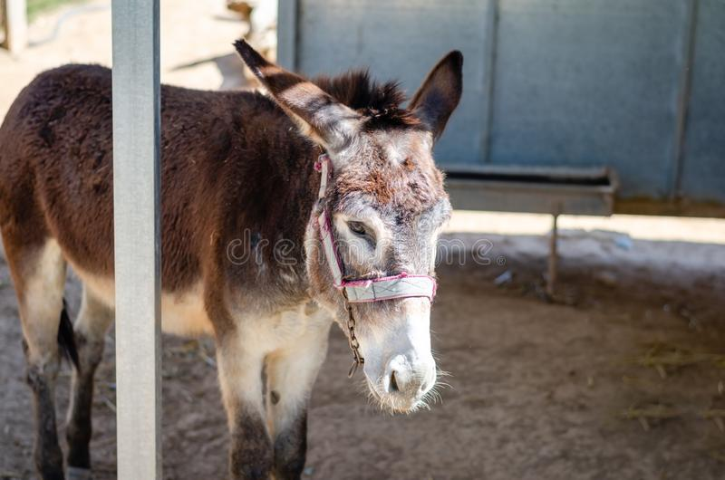 Unhappy donkey or sleepy or hungry in a Cyprus-Larnaca zoo park royalty free stock image