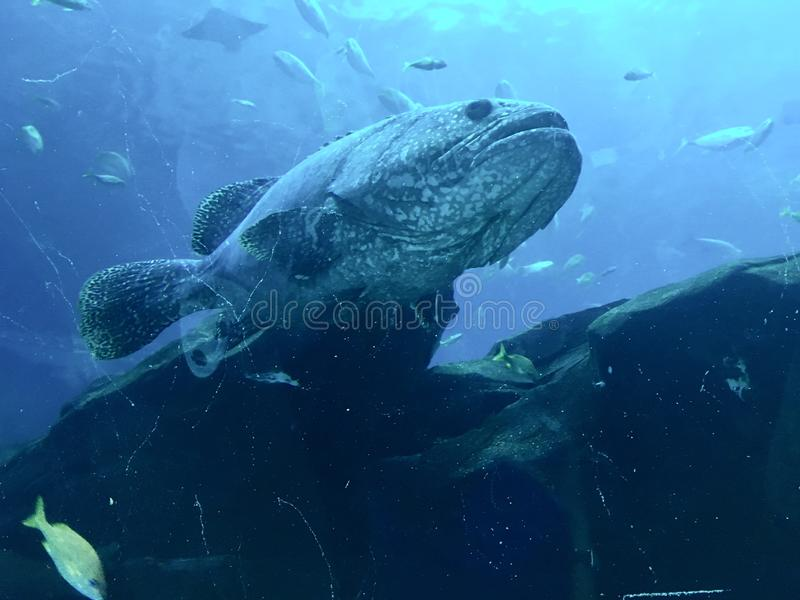 An unhappy Goliath grouper. Massive, ominous Goliath grouper looking for prey, but he has friends royalty free stock photos