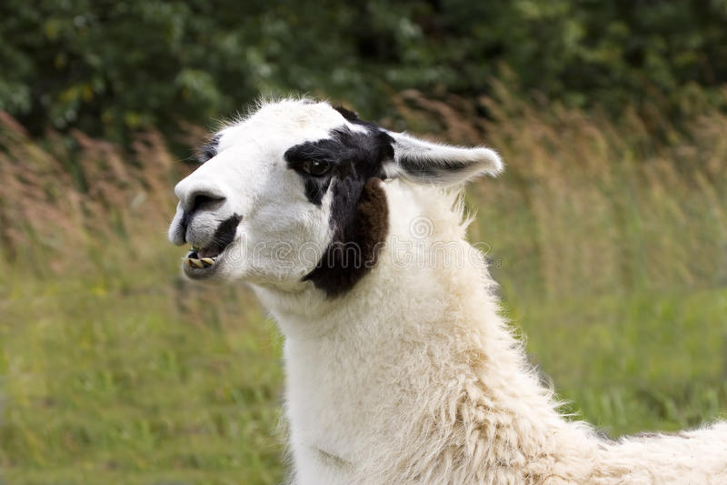 Unhappy Llama