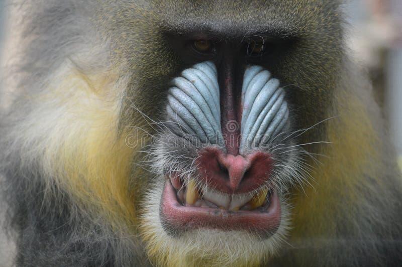 Unhappy mandrill. Ape baring teeth at camera stock image