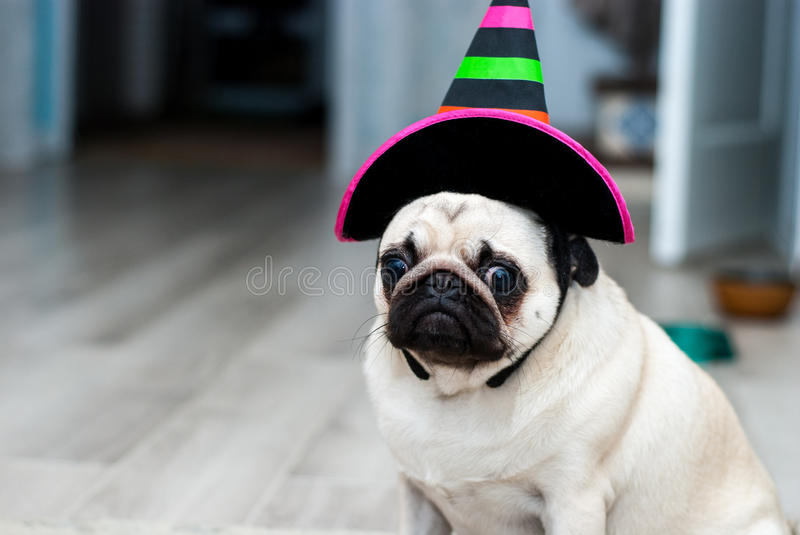 Unhappy pug. Sad birthday. Dog in a hat. Halloween dog. Halloween party. Halloween costume. Unhappy pug. Sad birthday. Dog in a hat. Halloween dog. Halloween stock images