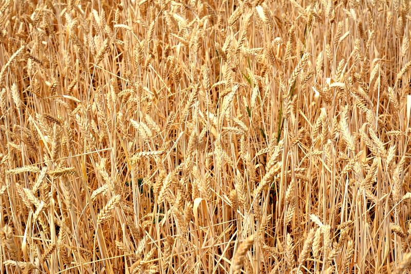 Unharvested wheat left drying in a field royalty free stock photos