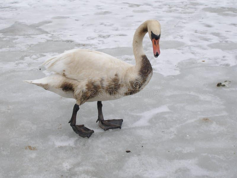 Unhealthy swan stock photos