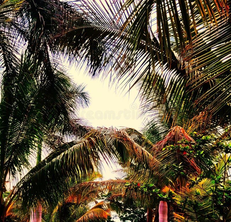 União das árvores de coco no por do sol foto de stock