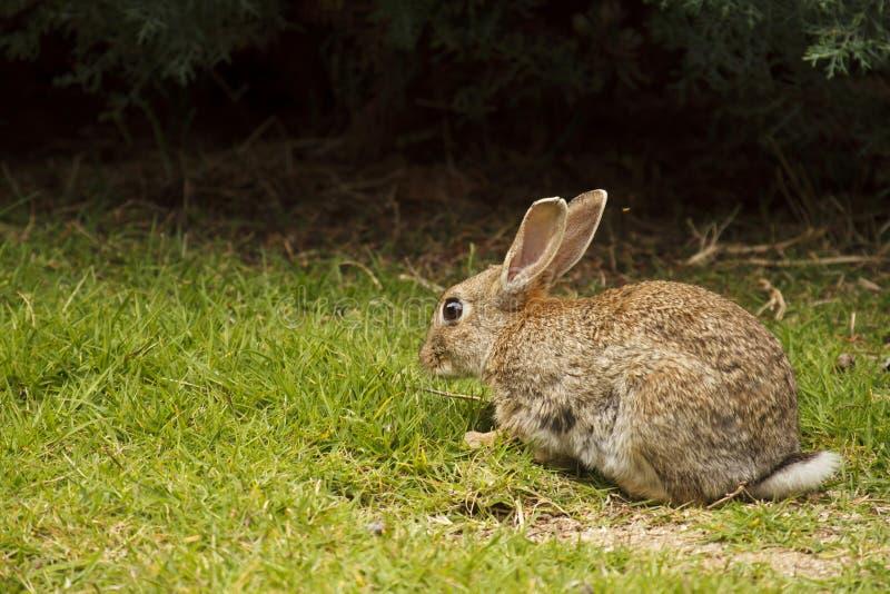 unia królik zdjęcie royalty free