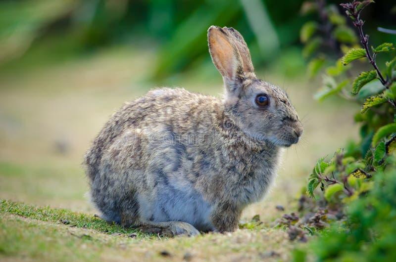 unia królik fotografia stock
