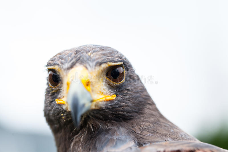 Unicinctus de Parabuteo de faucon du ` s de Harris photos stock