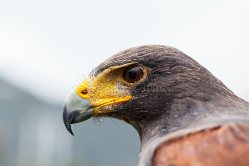 Unicinctus de Parabuteo de faucon du ` s de Harris images libres de droits