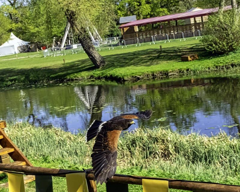 Unicinctus de /Parabuteo do falcão de Harris conhecido anteriormente como o falcão baía-voado ou obscuro fotografia de stock royalty free