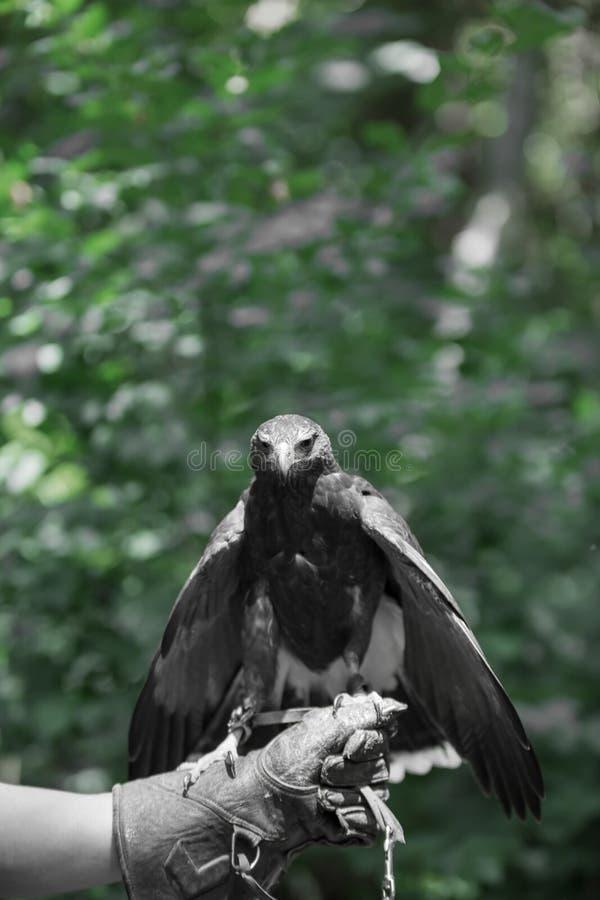 Unicinctus de Parabuteo - falcão do ` s de Harris imagem de stock