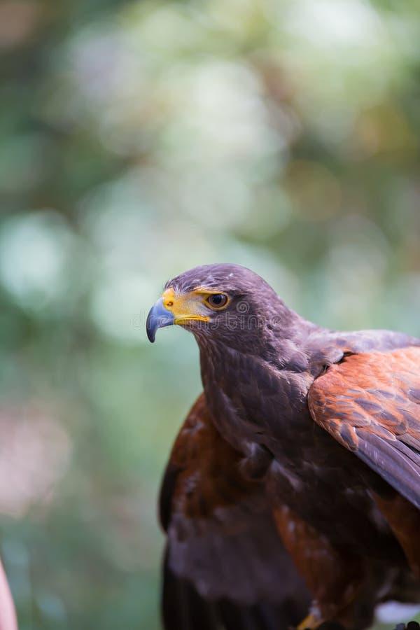 Unicinctus de Parabuteo - faucon du ` s de Harris photo libre de droits