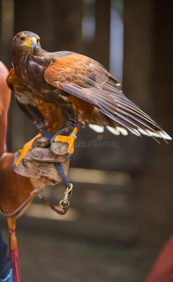 Unicinctus de Parabuteo - faucon du ` s de Harris - Buzzard de Harris photos stock