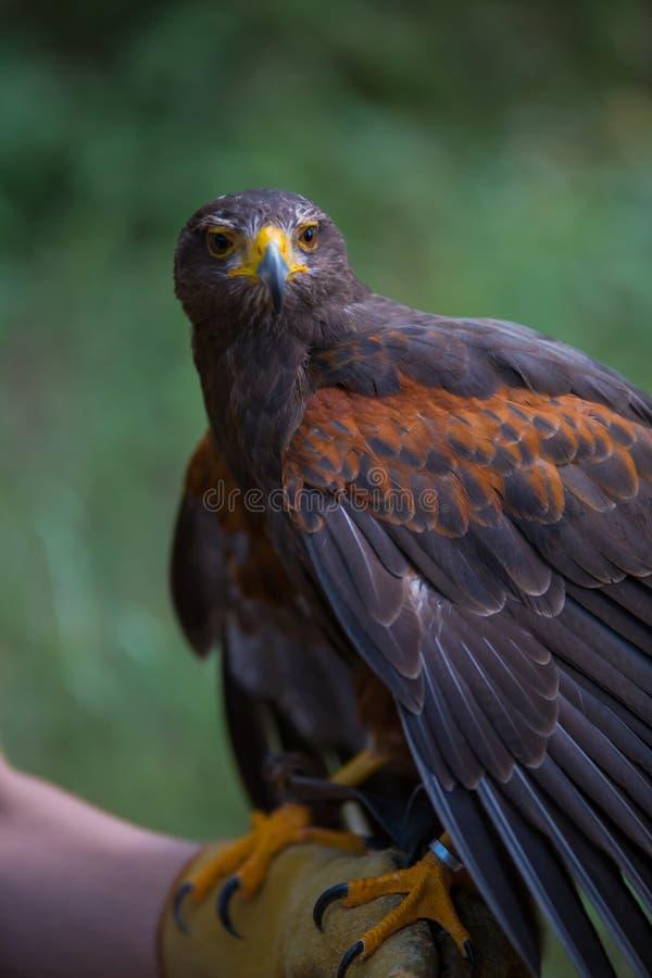 Unicinctus di Parabuteo - falco del ` s di Harris immagini stock libere da diritti