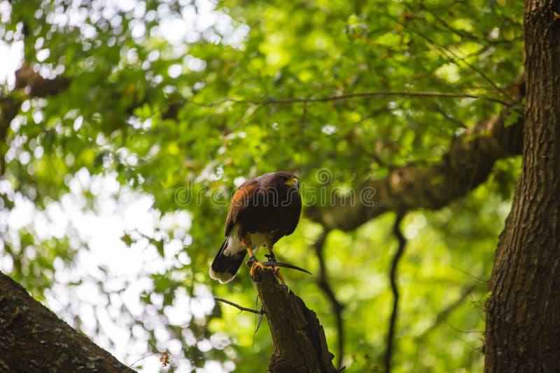 Unicinctus di Parabuteo - falco del ` s di Harris immagine stock libera da diritti
