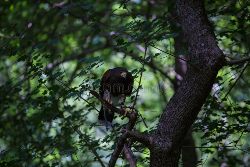 Unicinctus di Parabuteo - falco del ` s di Harris fotografia stock libera da diritti