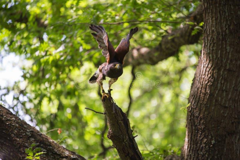Unicinctus di Parabuteo - falco del ` s di Harris fotografia stock