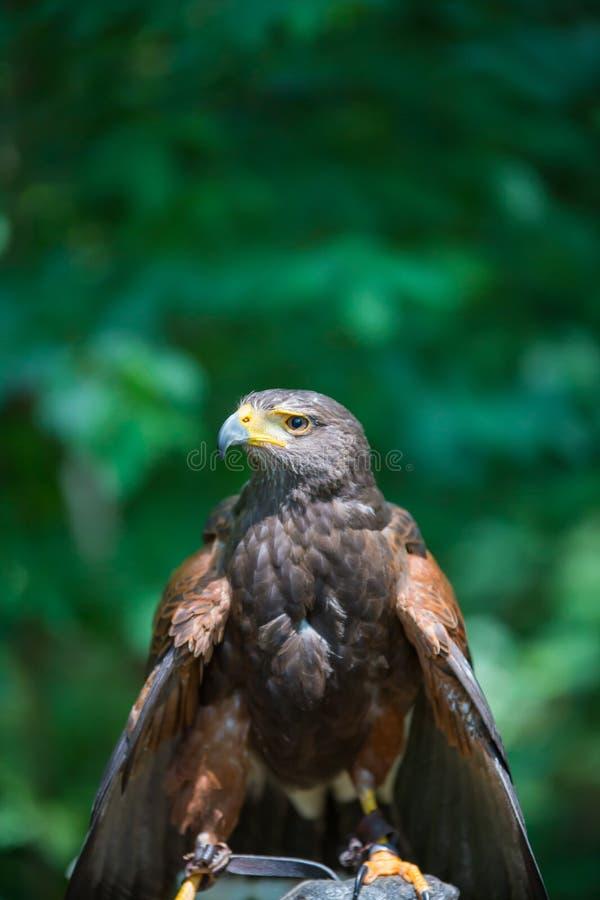 Unicinctus di Parabuteo - falco del ` s di Harris fotografie stock libere da diritti