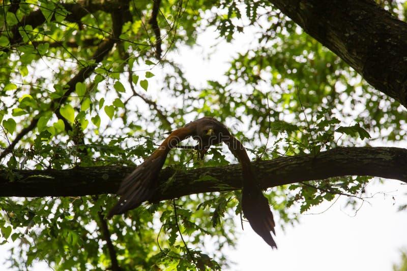 Unicinctus di Parabuteo - falco del ` s di Harris fotografie stock