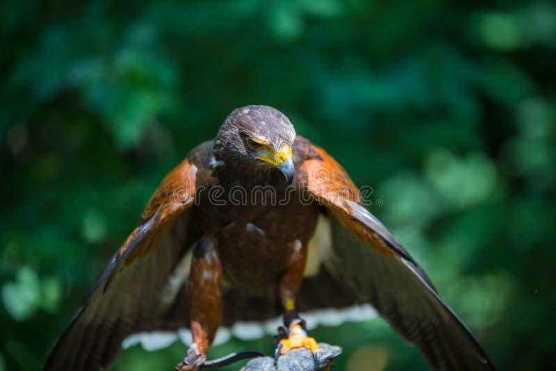 Unicinctus di Parabuteo - falco del ` s di Harris immagine stock