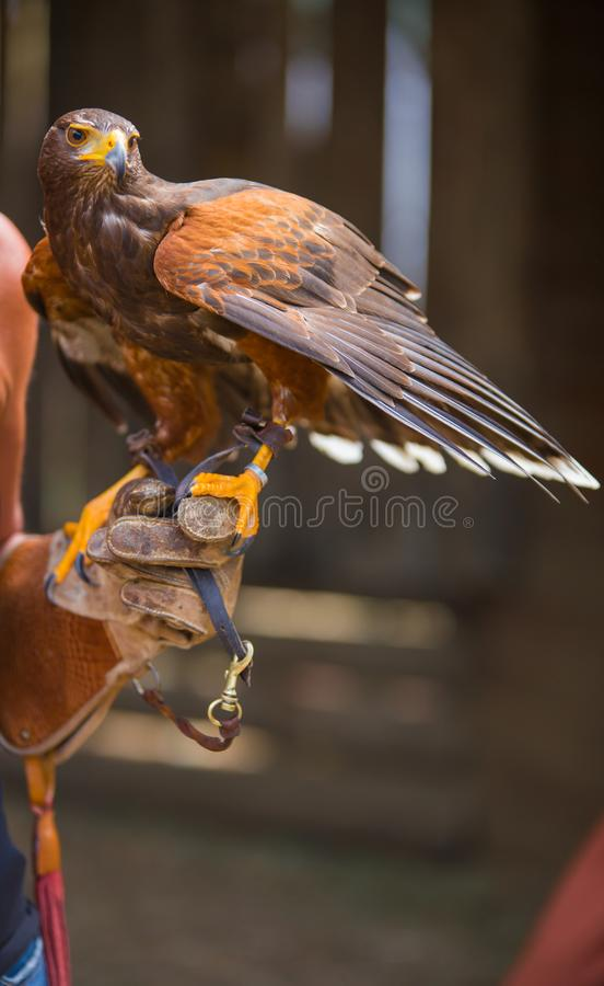 Unicinctus di Parabuteo - falco del ` s di Harris - Buzzard di Harris fotografie stock