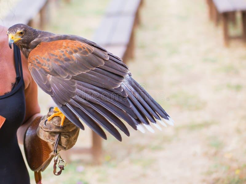 Unicinctus di Parabuteo - falco del ` s di Harris - Buzzard di Harris fotografie stock libere da diritti