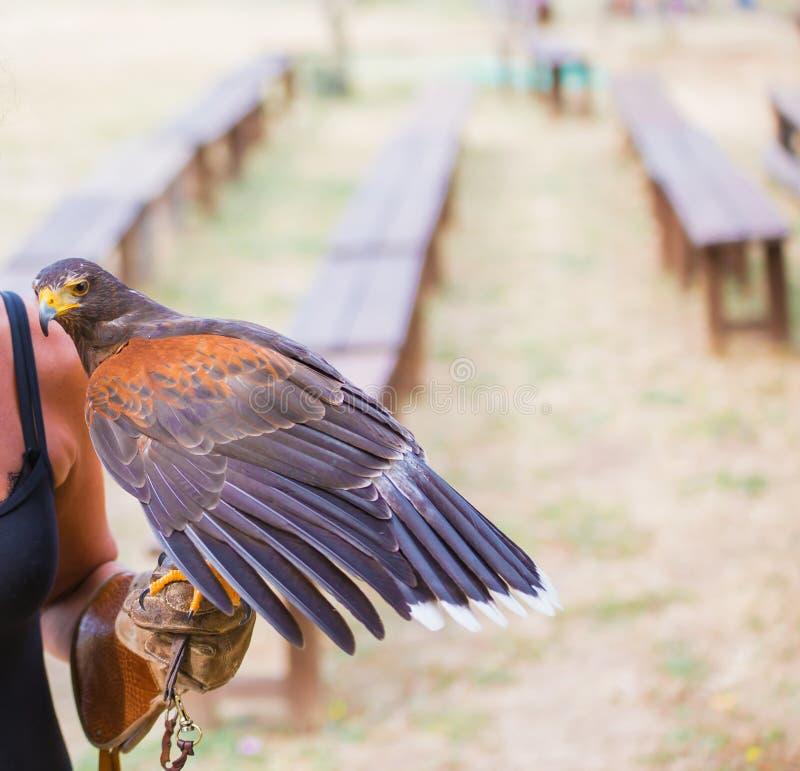 Unicinctus di Parabuteo - falco del ` s di Harris - Buzzard di Harris fotografia stock