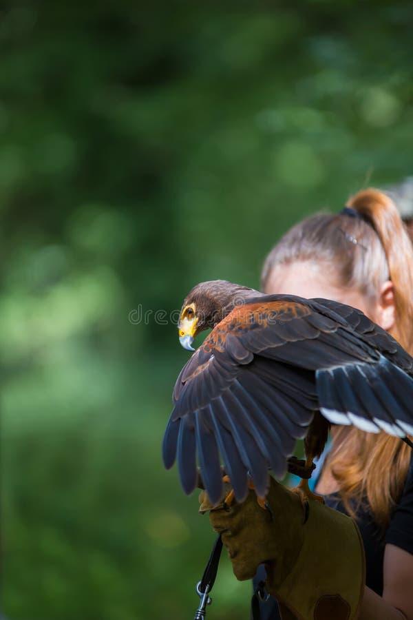 Unicinctus di Parabuteo - falco del ` s di Harris - Buzzard di Harris immagini stock libere da diritti