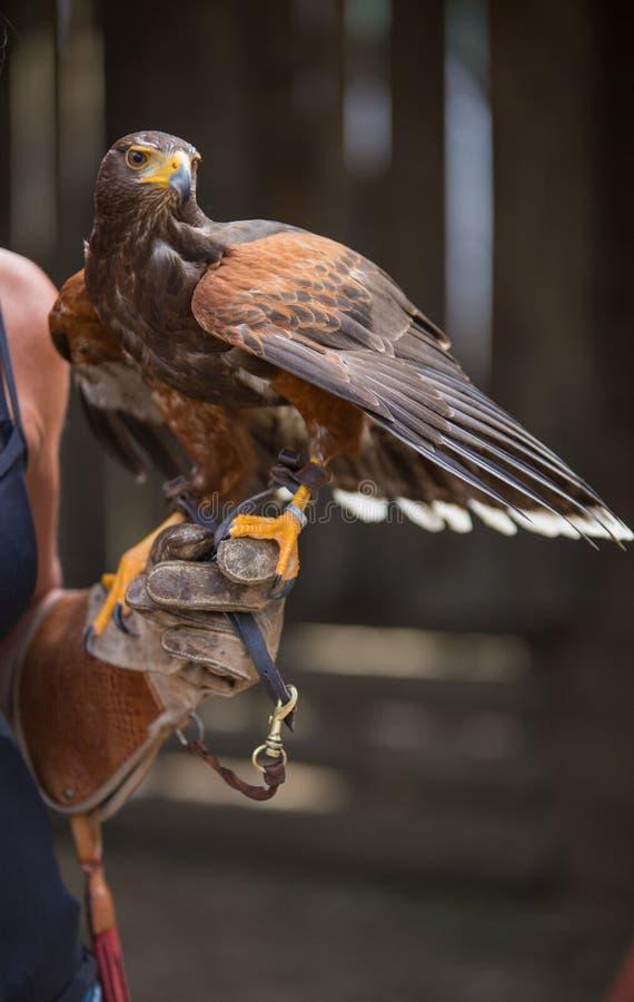 Unicinctus di Parabuteo - falco del ` s di Harris - Buzzard di Harris fotografia stock libera da diritti