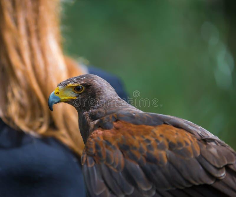 Unicinctus di Parabuteo - falco del ` s di Harris - Buzzard di Harris immagine stock libera da diritti