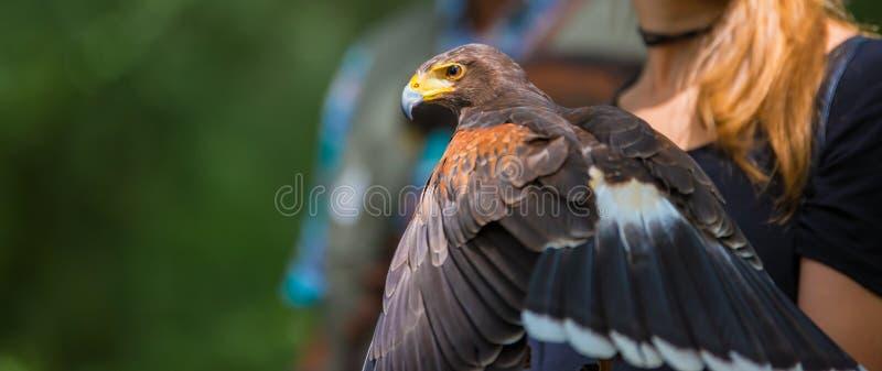 Unicinctus di Parabuteo - falco del ` s di Harris - Buzzard di Harris immagine stock