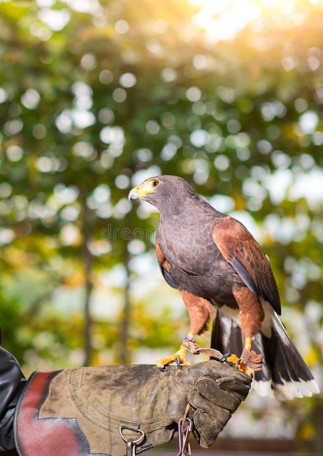 Unicinctus di Parabuteo - falco di harris in un centro animale con le zampe immagini stock