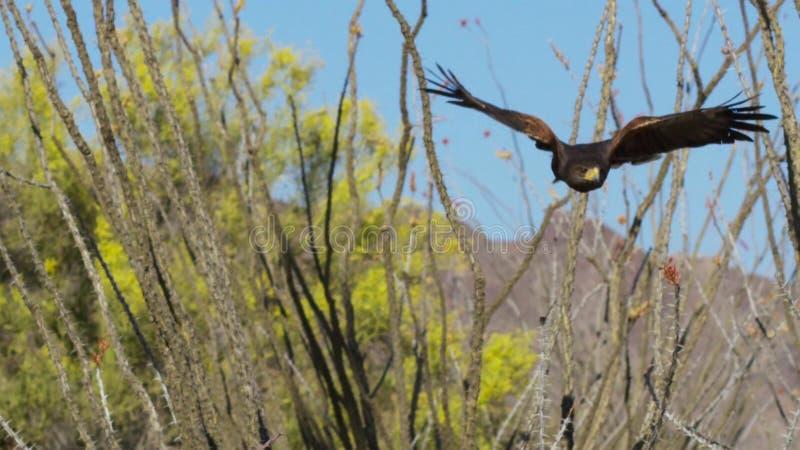 Unicinctus Parabuteo ястреба Херрис в пустыне Аризоне Соноры, юго-западном хищнике стоковое изображение