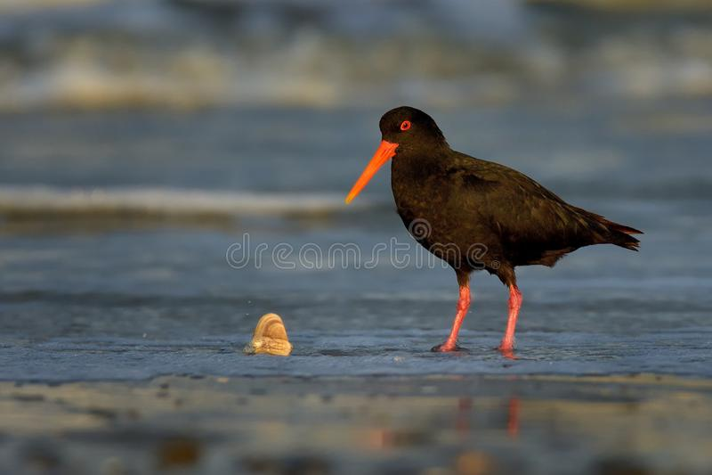 Unicolor - μεταβλητή νερόκοτα - σίτιση torea Haematopus με τα μύδια στην παραλία στοκ εικόνα