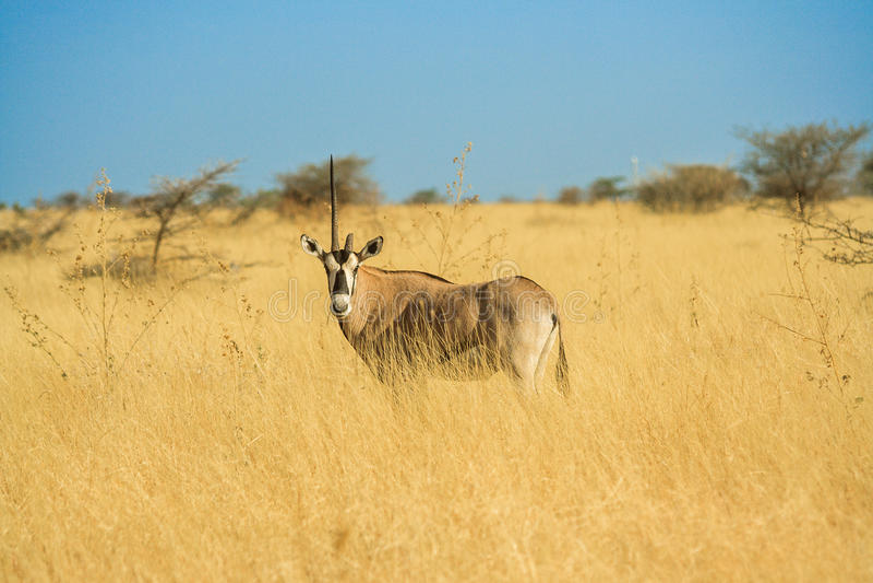 Unicorn Antelope i en Afrika Savannah royaltyfria foton