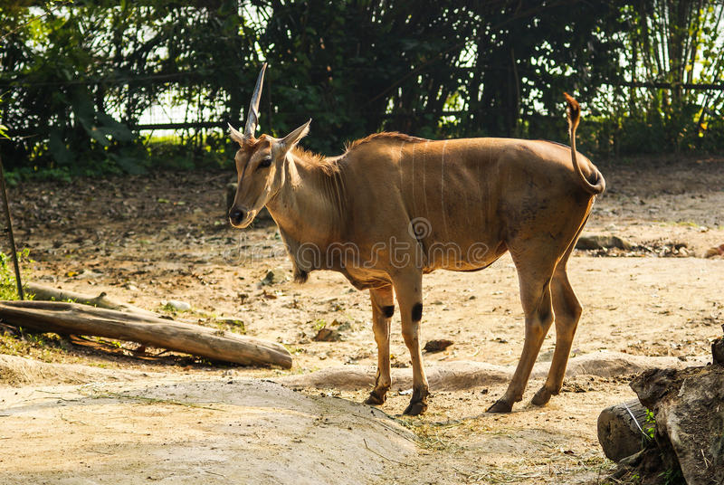 Unicorn Common Eland photo stock