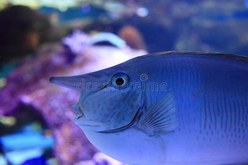 Unicorn fish in reef aquarium stock image