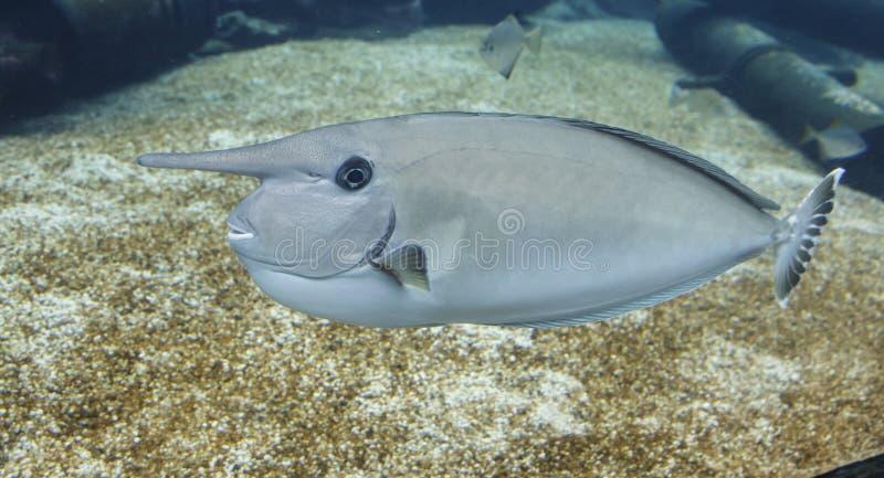 Unicorn Fish com o chifre de vista estranho imagens de stock