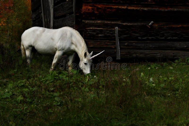 Unicorn grazing in a grassy meadow in Canada stock photo