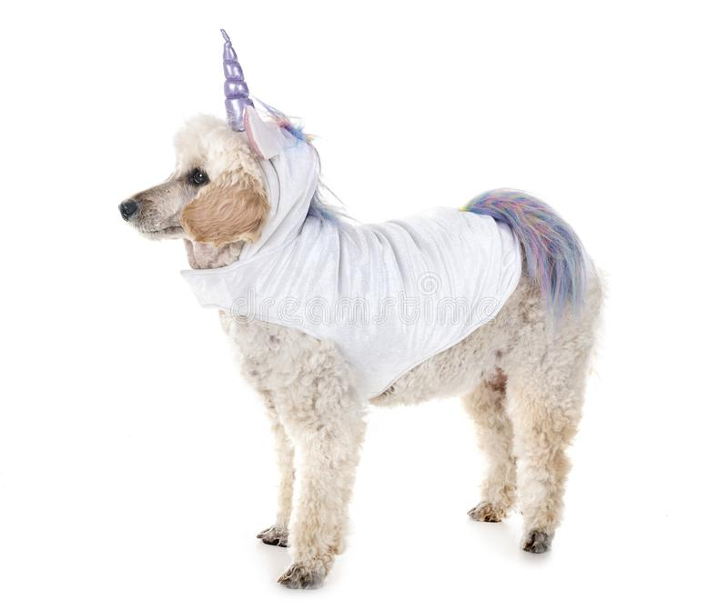 Unicorn poodle in studio. Unicorn poodle in front of white background stock photos