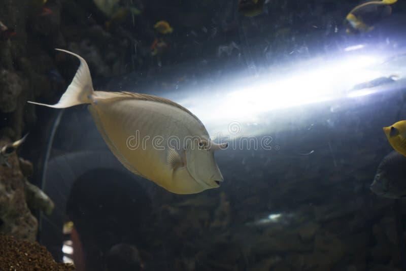 Unicorn Tang Fish fotografía de archivo