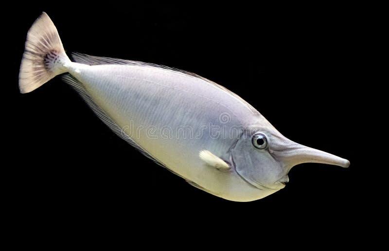 Unicornfish fotografia stock libera da diritti