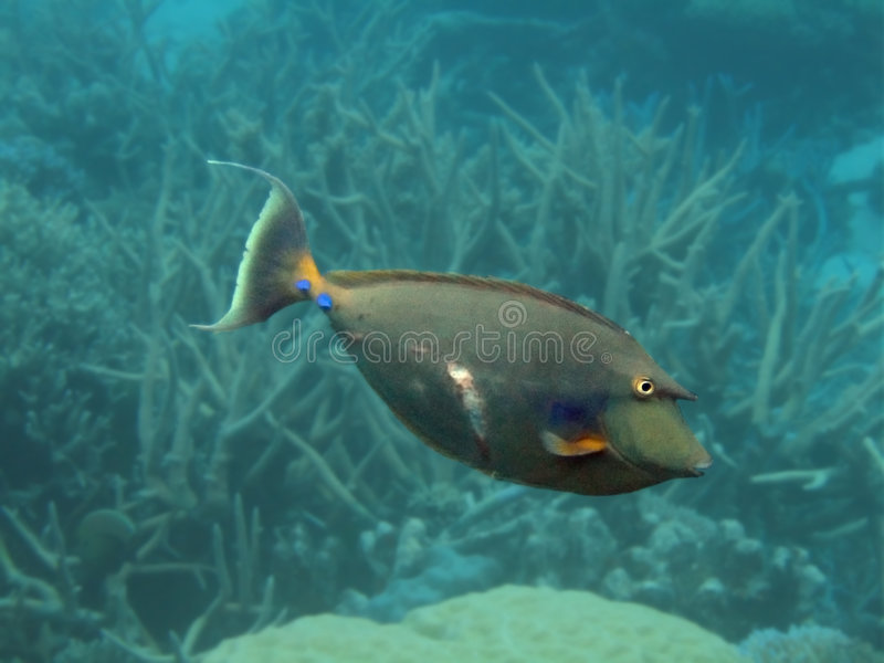 Unicornfish imagen de archivo libre de regalías