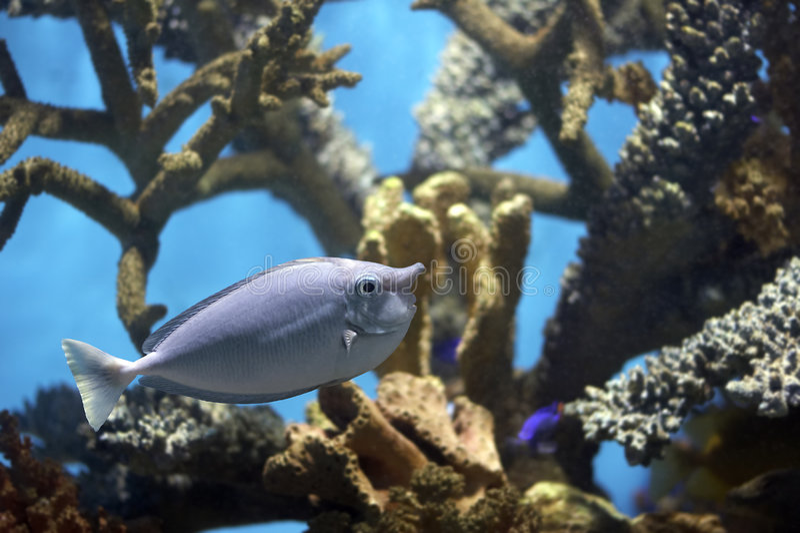 Unicornfish royalty-vrije stock afbeelding