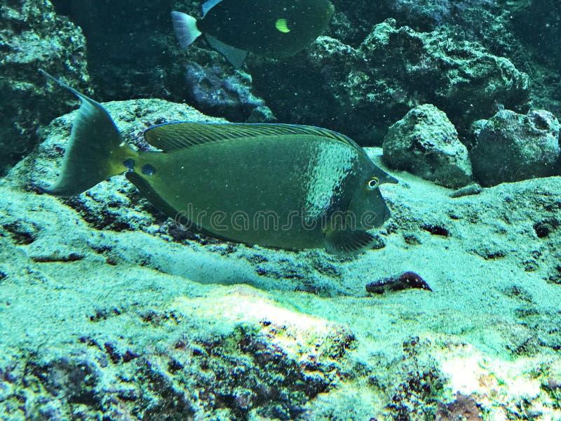 Unicornfish d'unicornfish ou de Court-nez de Bluespine ou unicornis de Naso photographie stock